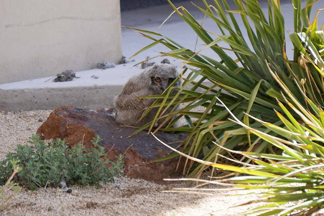 A great horned owl chick hunkers on a rock outside the Desert Research Institute in Reno after jumping out of its nest on a second-story window ledge on Monday. State wildlife officials said the c ...
