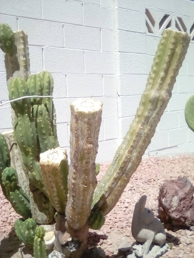 Bob Morris While the cuts to this cactus were not harmful to the plant, it now looks unattractive.