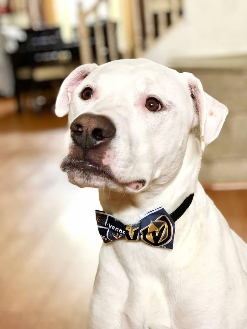 Brandon Nix's dog Brady wears a Vegas Golden Knights bow tie designed by Las Vegas singer Lily Arce. (Lily Arce)