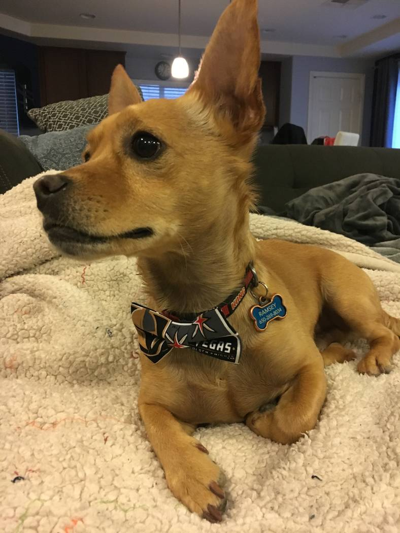 Natalie Brown's dog Arnie wears a Vegas Golden Knights bow tie designed by Las Vegas singer Lily Arce. (Lily Arce)