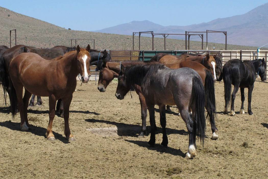 Wild horses that were captured from U.S. rangeland stand stand in a holding pen at the U.S. Bureau of Land Management's Wild Horse and Burro Center in Palomino Valley, about 20 miles north of Reno ...