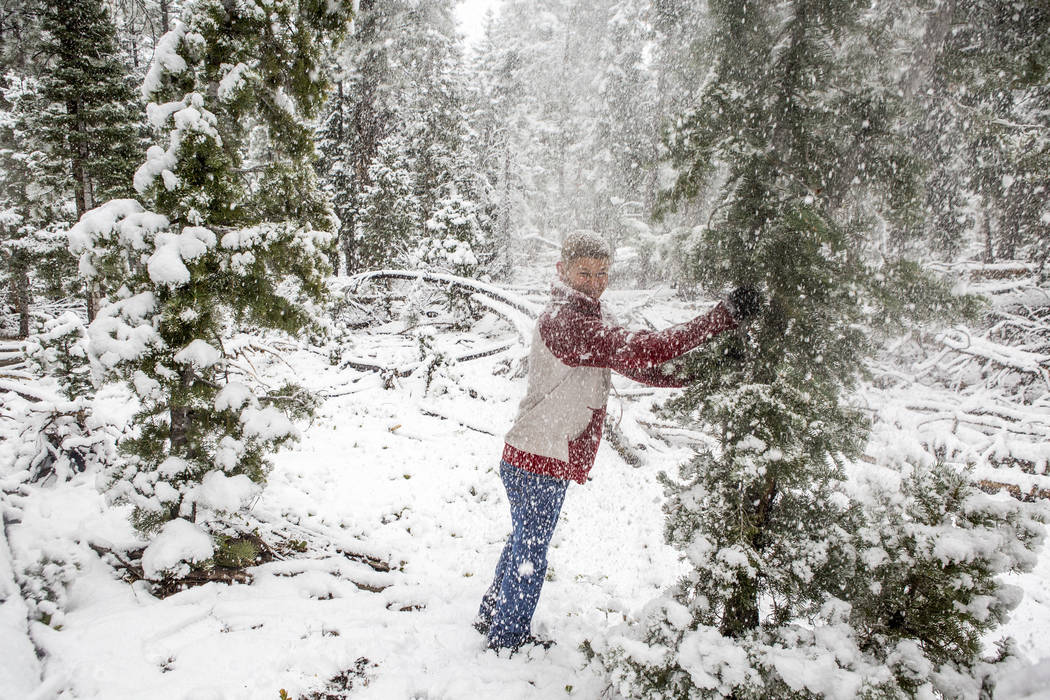 "Jeff Schneider shakes a tree full of snow near the Cathedral Rock trailhead at Mount Charleston on Tuesday, May 1, 2018. ""I heard my brother talking about the weather at Mt. Charleston and al ..."