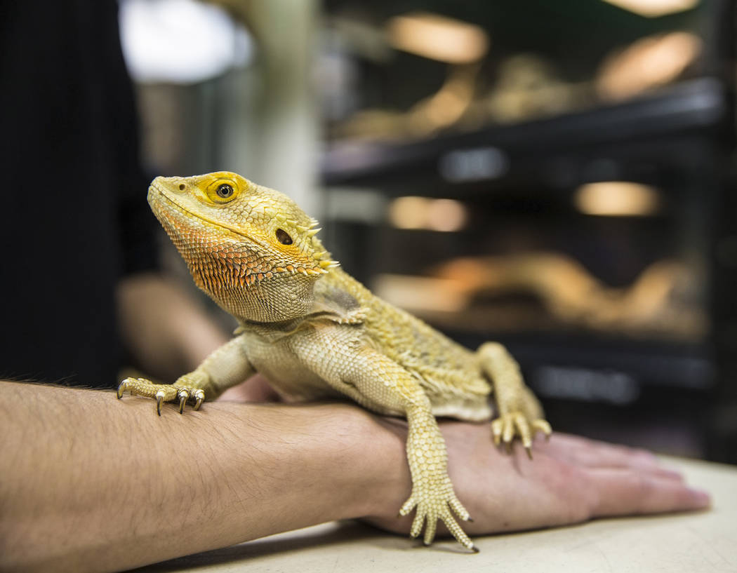 Animal husbandry worker Jordan Lorge holds a bearded dragon at the Las Vegas Natural History Museum on Tuesday, Dec. 13, 2016, in Las Vegas. Lorge has worked at the museum for the past three years ...