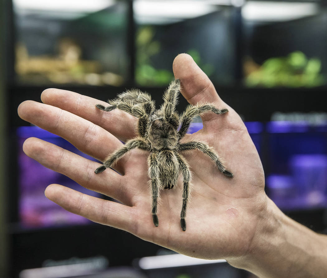 Animal husbandry worker Jordan Lorge holds a rose hair tarantula named Charlotte at the Las Vegas Natural History Museum on Tuesday, Dec. 13, 2016, in Las Vegas. Lorge has worked at the museum for ...