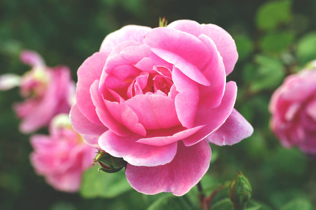 Thinkstock Las Vegas Valley Rose Society educates people on how to grow roses in a desert landscape.