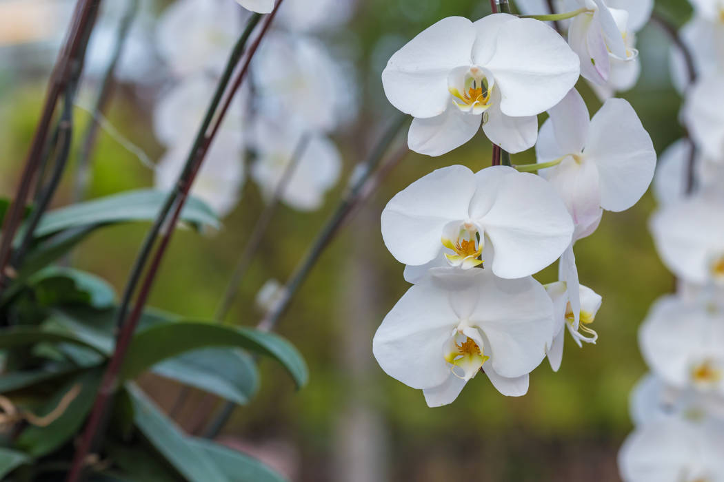 Thinkstock Nevada, with its sizzling, dry deserts and freezing, snowy mountains, boasts new fewer than 12 native orchids, according to the Greater Las Vegas Orchid Society.
