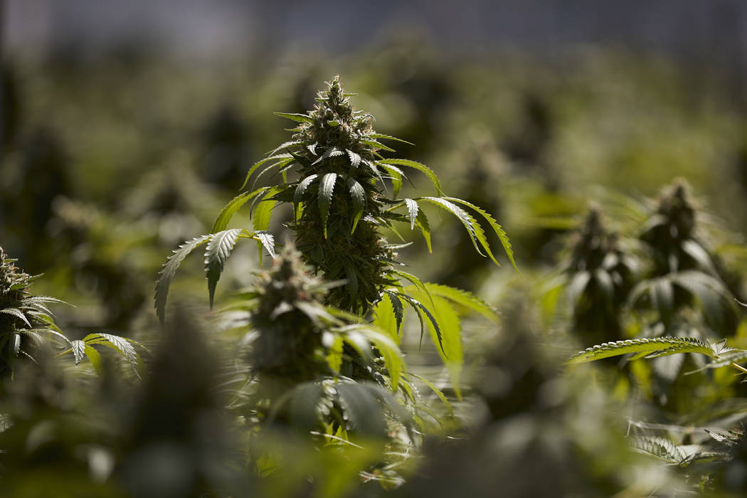 In this Thursday, April 12, 2018, photo, mature cannabis plants are seen in a greenhouse at Glass House Farms in Carpinteria, Calif. Santa Barbara county amassed the largest number of marijuana cu ...