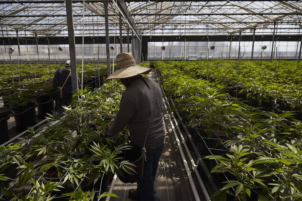 In this Thursday, April 12, 2018, photo, workers work in a greenhouse growing cannabis plants at Glass House Farms in Carpinteria, Calif. Carpinteria, about 85 miles northwest of Los Angeles, is l ...