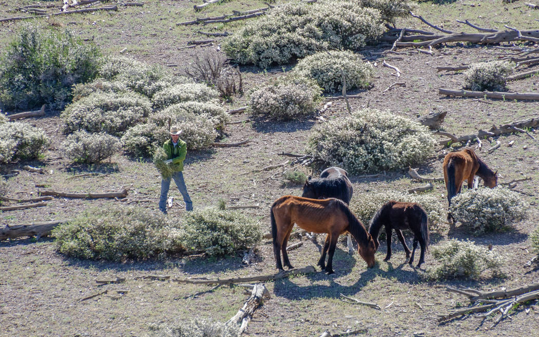 A contract cowboy offers hay to wild horses during an emergency roundup near Cold creek Saturday, May 12, 2018. Darcy Grizzle