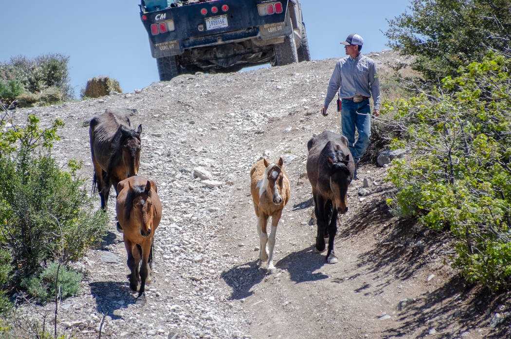 A contract cowboy walks wild horses toward a trap during an emergency roundup near Cold Creek Saturday, May 12, 2018. Darcy Grizzle