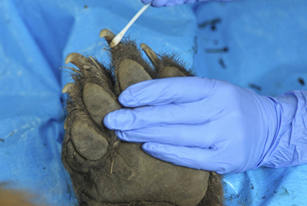 A DNA sample is taken in Fort Collins, Colo., from the paw of a bear killed by wildlife officers after a young girl was attacked outside her home. (Colorado Parks and Wildlife via AP)