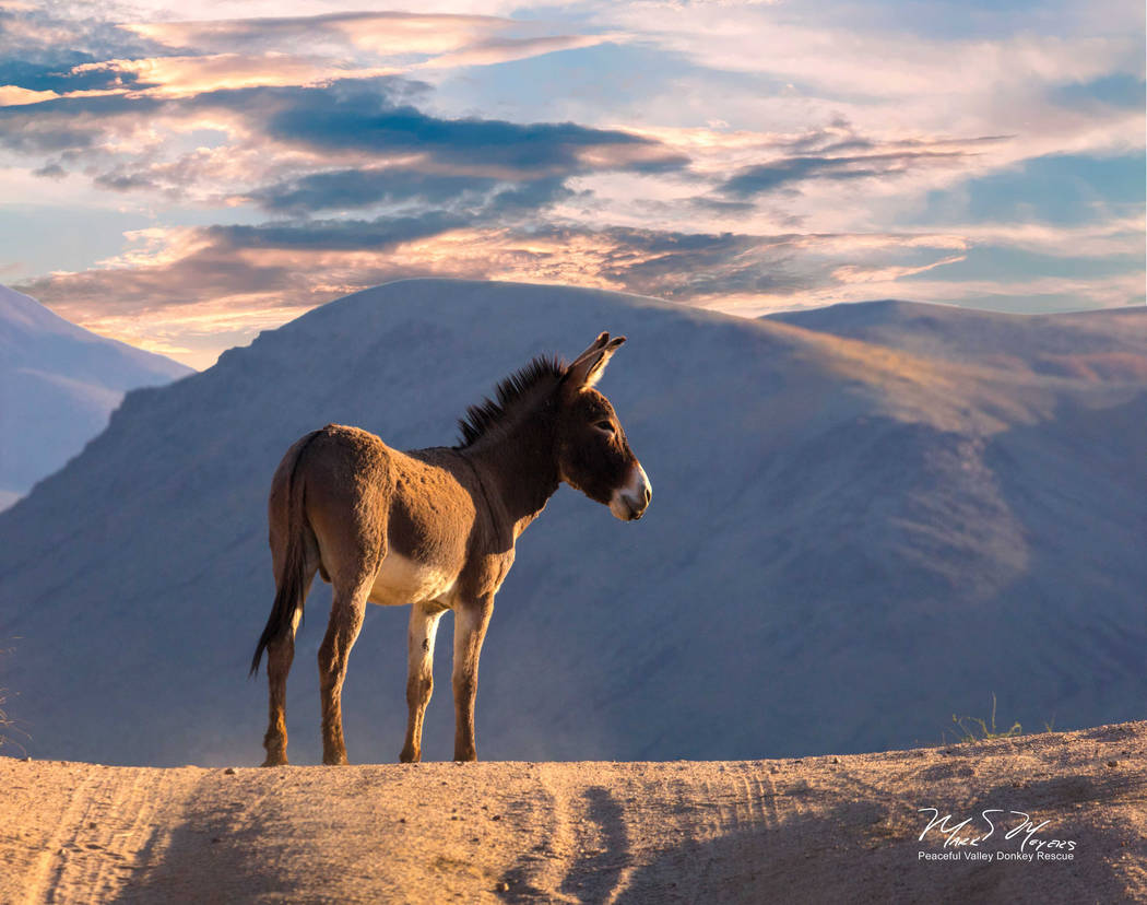 A wild burro stands in Death Valley National Park in an undated photo sent out by the National Park Service. The agency has entered into a five-year agreement with a nonprofit rescue group to remo ...
