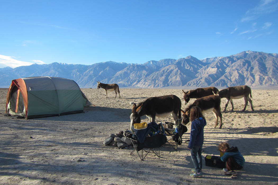 Children watch wild burros search for food in their campsite near Saline Valley Warm Springs at Death ValleyNational Park on Jan. 18, 2015. Henry Brean Las Vegas Review-Journal