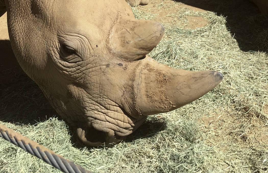 This photo shows Victoria, a pregnant southern white rhino Thursday, May 17, 2018, at the San Diego Zoo Safari Park in Escondido, Calif. (AP Photo/Julie Watson)