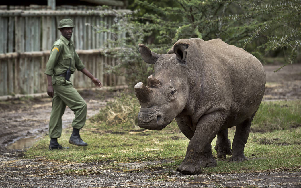 Keeper Mohamed Doyo walks with female northern white rhino Fatu as she is let out of her pen to graze, at the Ol Pejeta Conservancy in Kenya in 2014. (AP Photo/Ben Curtis, File)