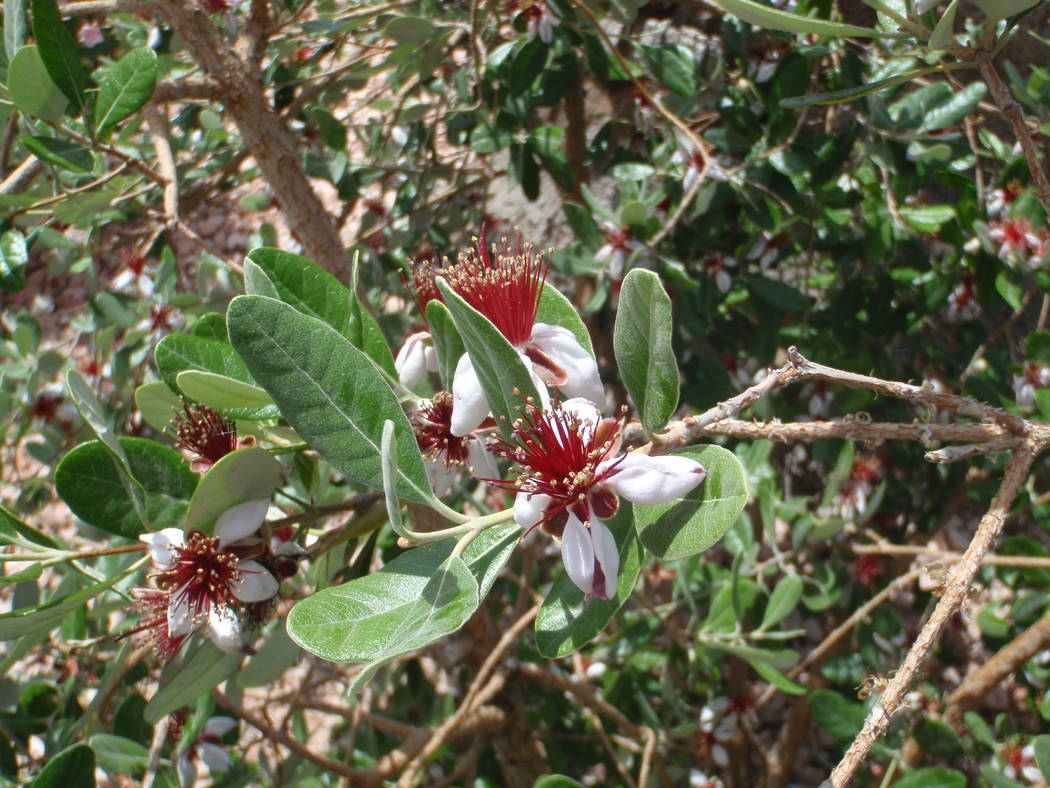 Bob Morris The flower petals of pineapple guava are edible and can be plucked from the flowers when they are open.