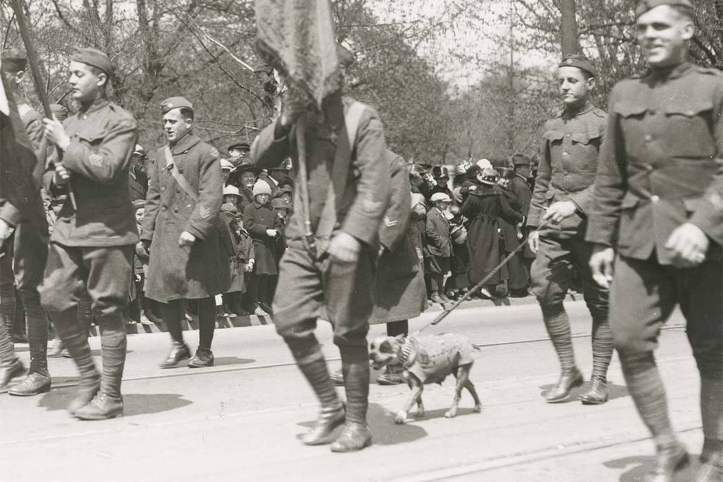This April 30, 1919 photograph provided by the Connecticut State Library shows famed war dog Stubby walking in a homecoming parade for World War I veterans in Hartford, Connecticut. (Connecticut ...