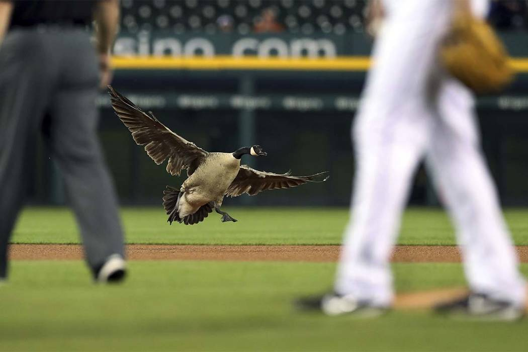 A Canada goose lands near the pitching mound during the sixth inning of a baseball game between the Detroit Tigers and the Los Angeles Angels, Wednesday, May 30, 2018, in Detroit. (Carlos Osorio/AP)