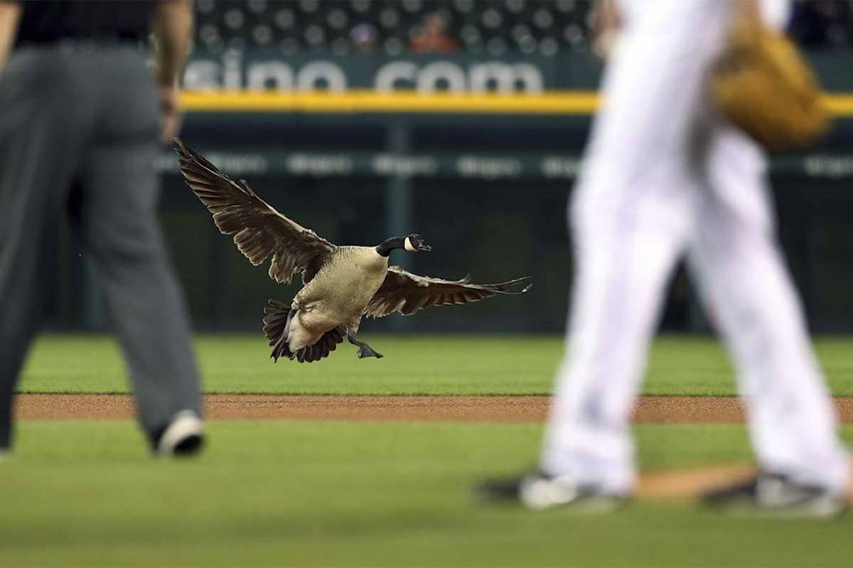 Goose on the loose crashes baseball game in detroit las vegas goose on the loose crashes baseball game in detroit las vegas review journal izmirmasajfo