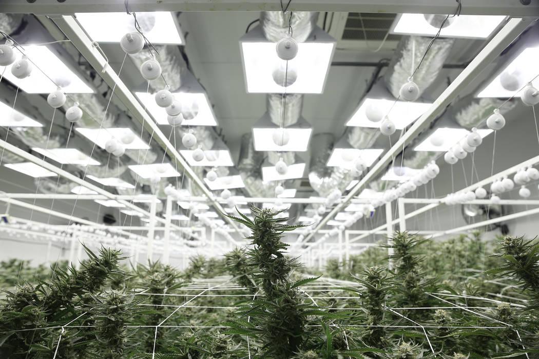 Marijuana plants in the flowering grow room of the Redwood Cultivation facility in Las Vegas, Saturday, June 2, 2018. Erik Verduzco Las Vegas Review-Journal @Erik_Verduzco