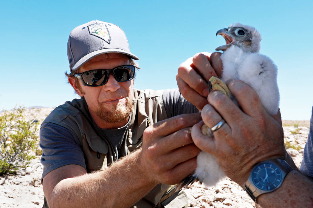 Joe Barnes, a biologist with the Nevada Department of Wildlife, plucks a couple of feathers from a peregrine chick on a ledge overlooking Lake Mead in Temple Bar, Ariz., on Wednesday, May 16, 2018 ...