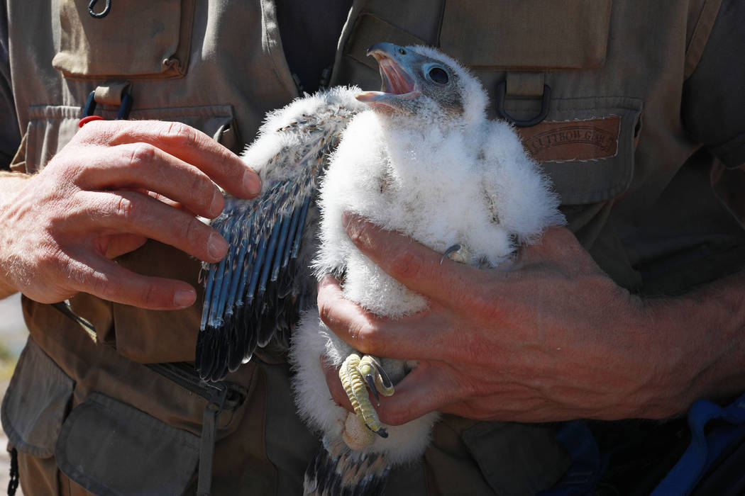 Joe Barnes, a biologist with the Nevada Department of Wildlife,examines a peregrine chick on a ledge overlooking Lake Mead in Temple Bar, Ariz., on Wednesday, May 16, 2018. Barnes weighed an ...