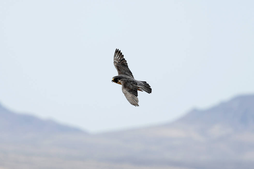 An adult peregrine falcon circles near its nest on a ledge overlooking Lake Mead in Temple Bar, Ariz., on Wednesday, May 16, 2018. Joe Barnes, a biologist with the Nevada Department of Wildlife, w ...