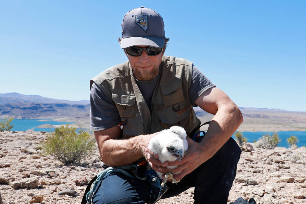 Joe Barnes, a biologist with the Nevada Department of Wildlife, retrieves a peregrine chick from its nest on a ledge overlooking Lake Mead in Temple Bar, Ariz., on Wednesday, May 16, 2018. Barnes ...