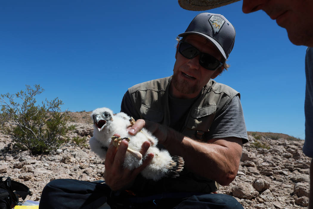 Joe Barnes, a biologist with the Nevada Department of Wildlife,examines a peregrine chick near its nest on a ledge overlooking Lake Mead in Temple Bar, Ariz., on Wednesday, May 16, 2018. Bar ...
