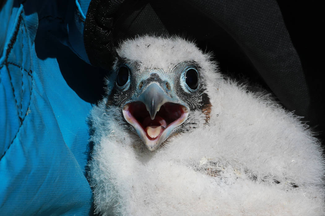 A peregrine chick looks around in Temple Bar, Ariz., on Wednesday, May 16, 2018. Joe Barnes, a biologist with the Nevada Department of Wildlife,weighed and measured each of the three chicks, ...