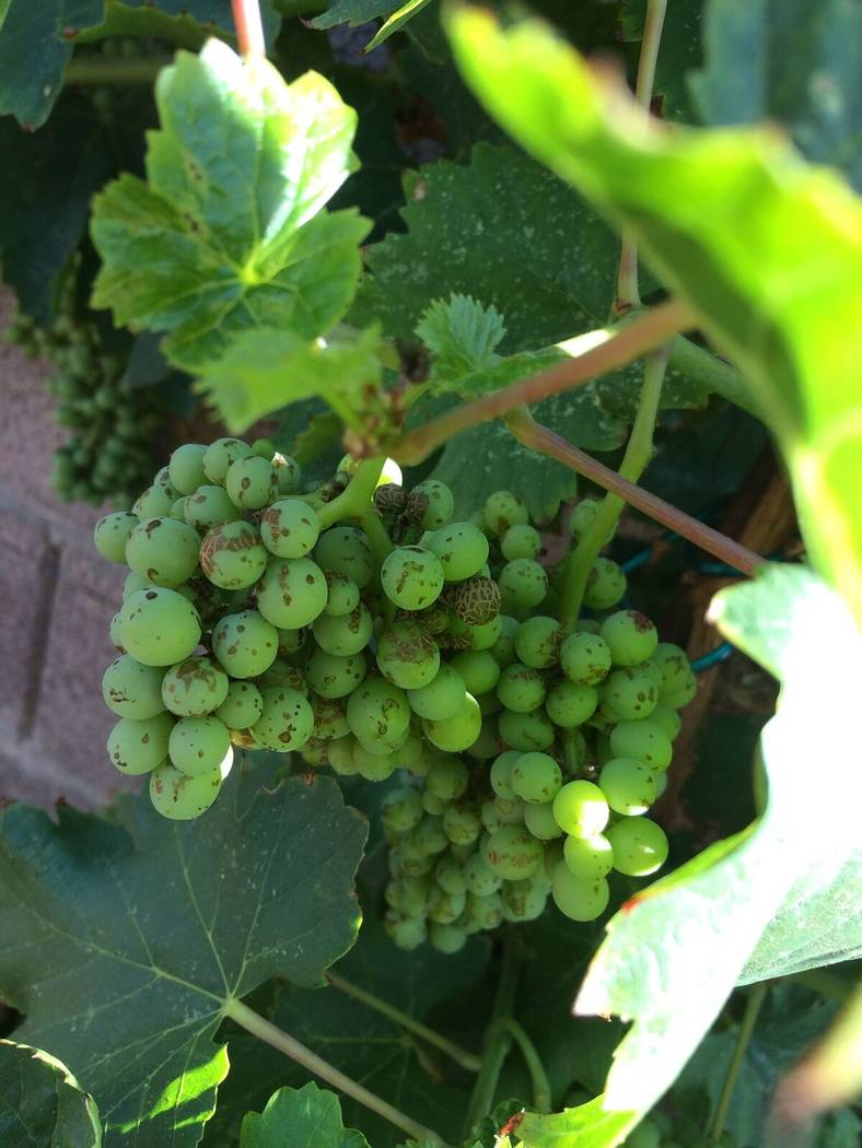 Bob Morris The scarring on these Thompson seedless grapes is caused by very tiny insects called western flower thrips.