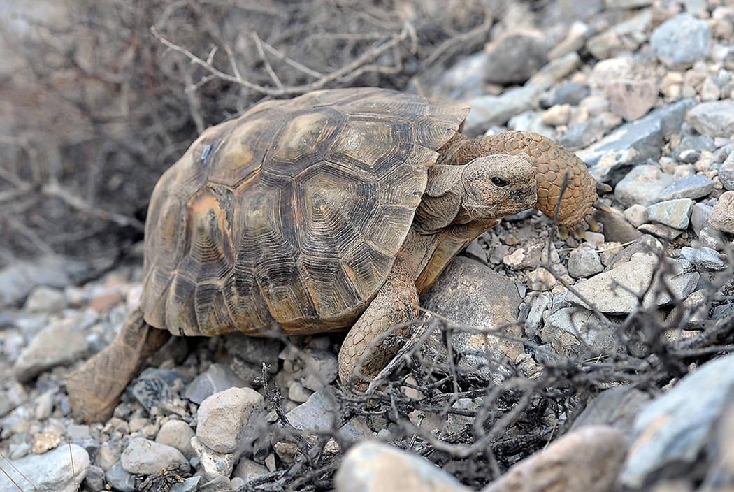 A desert tortoise crawls near Primm in 2014. (Las Vegas Review-Journal)
