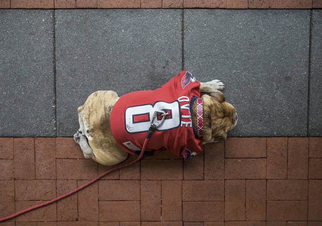 Capitals fan Ovie, an 8-year-old English Bulldog, outside Capital One Arena before the start of Game 3 of the NHL Stanley Cup Final against the Golden Knights on Saturday, June 2, 2018, in Washing ...