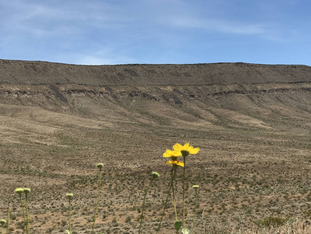 Wild flowers bloom on the fringe of Solitario Canyon, west of Yucca Mountain, May 3, 2017. Keith Rogers Las Vegas Review-Journal