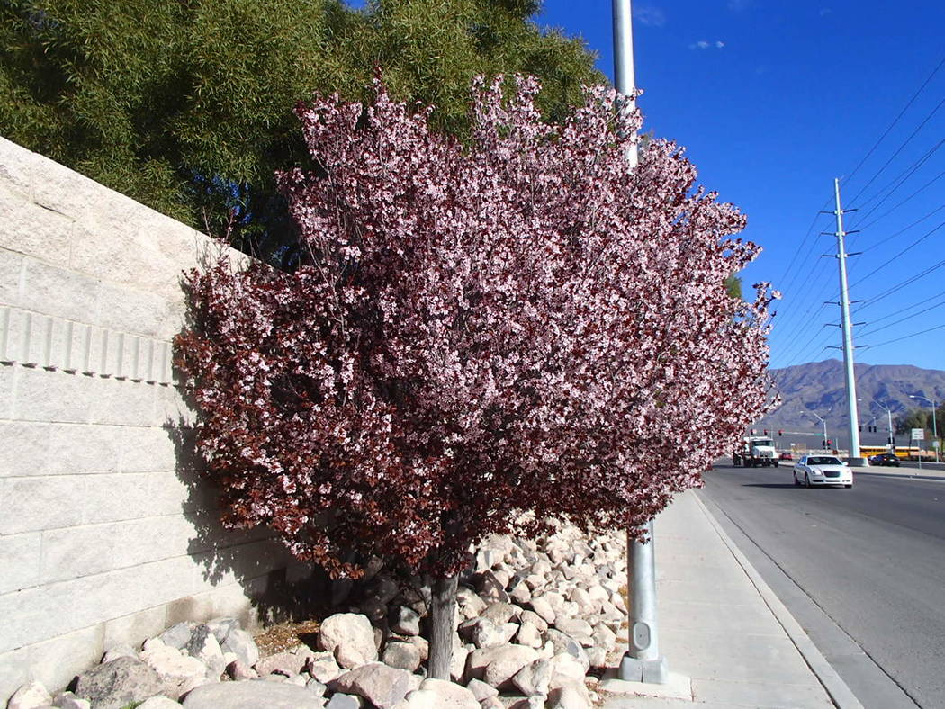 Bob Morris Purple leaf plum trees are normally planted for their ornamental beauty.