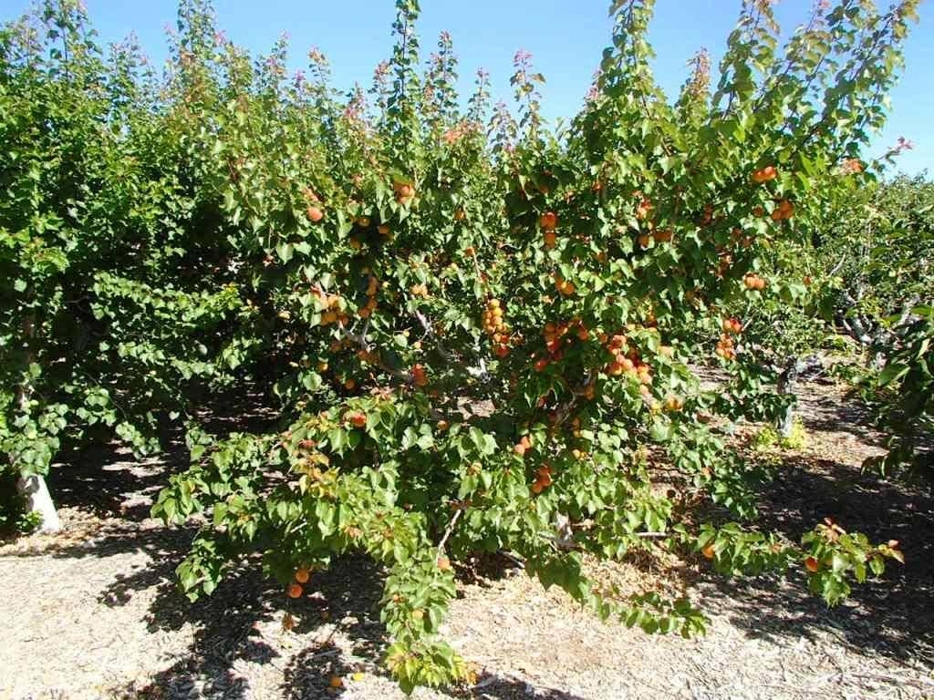 Bob Morris The color of the apricot fruit is good, but it is not ready for harvest yet.