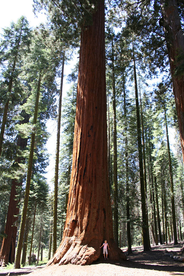 Some giant sequoia trees in Sequoia and Kings Canyon National Parks, California are as tall as a 26-story building and more than 1,800 years old. (Deborah Wall)