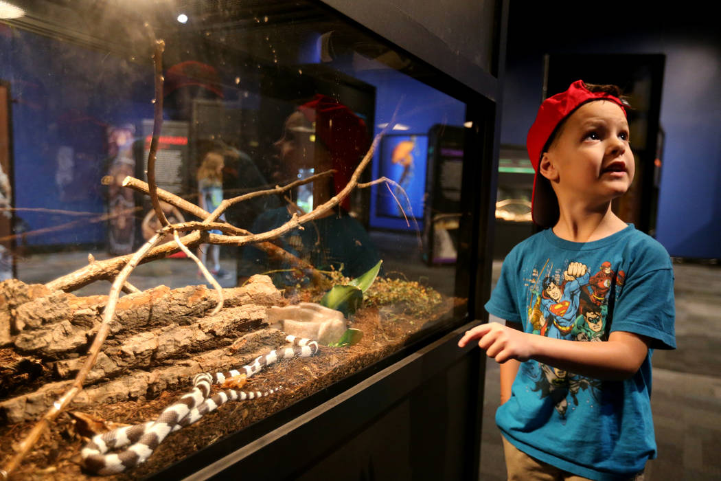 Jackson McGauhey, 5, check out a California kingsnake at NatureÕs Ninjas, the traveling exhibit the Las Vegas Springs Preserve, Monday, June 11, 2018. K.M. Cannon Las Vegas Review-Journal @KM ...