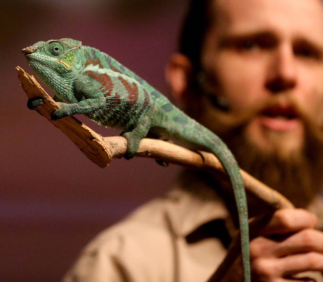 Head Zookeeper Shawn Adderley shows Panther chameleon during a show at NatureÕs Ninjas, the traveling exhibit the Las Vegas Springs Preserve Monday, June 11, 2018. K.M. Cannon Las Vegas Revie ...