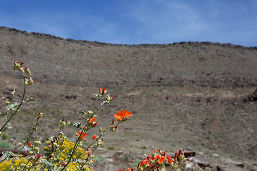 Wildflowers bloom on the west rim of Yucca Mountain on May 3, 2017. Michael Quine/Las Vegas Review-Journal @Vegas88s