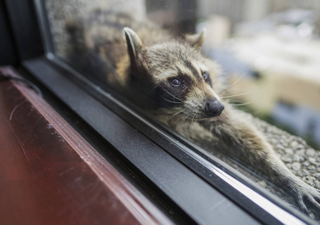 A raccoon stretches out on a windowsill high above downtown St. Paul, Minn., Tuesday, June 12, 2018. The raccoon stranded on the ledge of a building in St. Paul captivated onlookers and generated ...