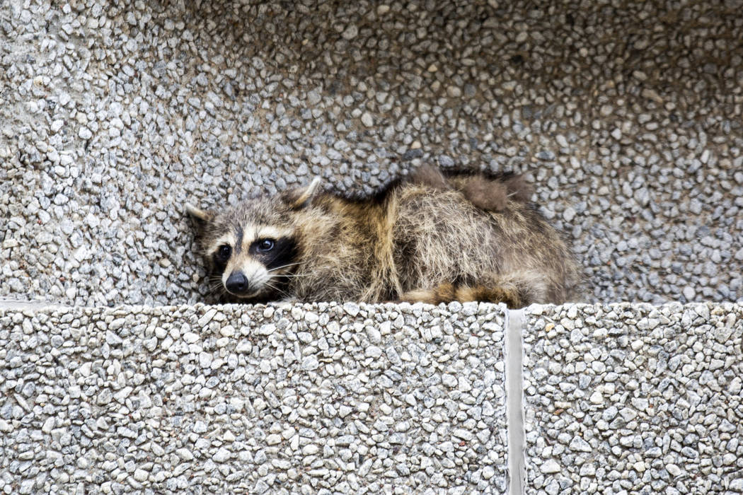 A raccoon sits on a ledge on the Town Square building in downtown St. Paul, Minn., on Tuesday, June 12, 2018. (Evan Frost/Minnesota Public Radio via AP)