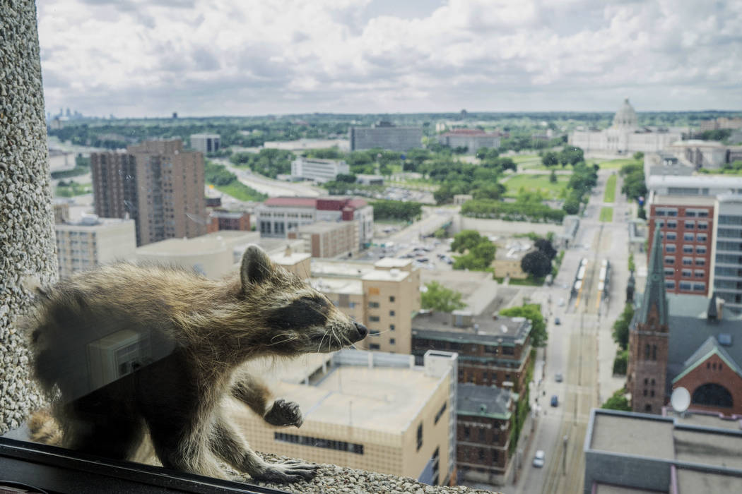 A raccoon stretches itself on the window sill of the Paige Donnelly Law Firm on the 23rd floor of the UBS Tower in St. Paul, Minn., Tuesday, June 12, 2018. The raccoon stranded on the ledge of the ...