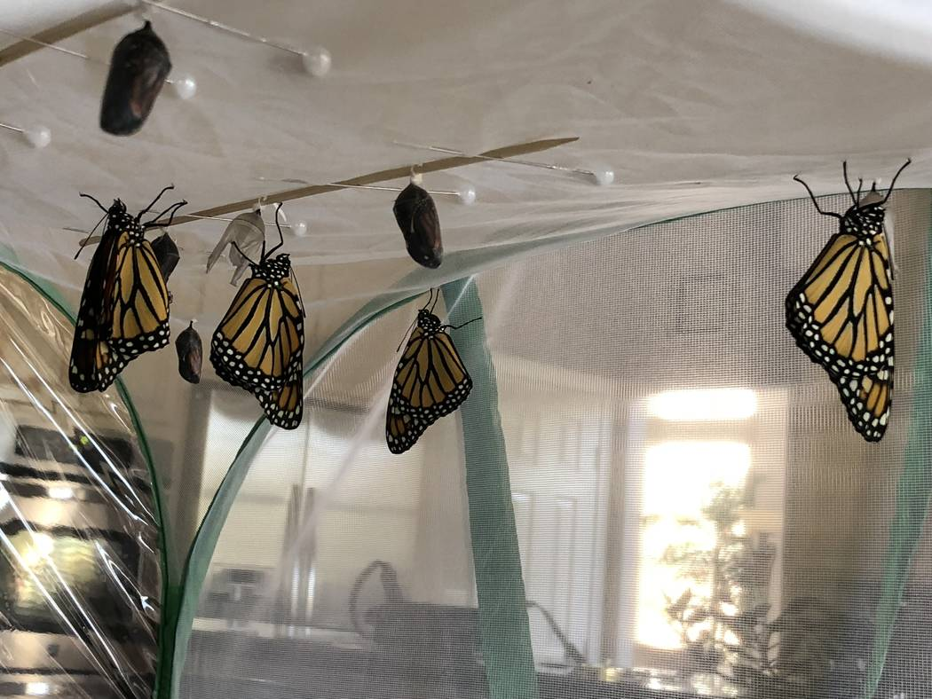 Monarch butterflies sit inside their protective enclosure shortly after emerging from their chrysalises on June 10. Anne Marie Lardeau