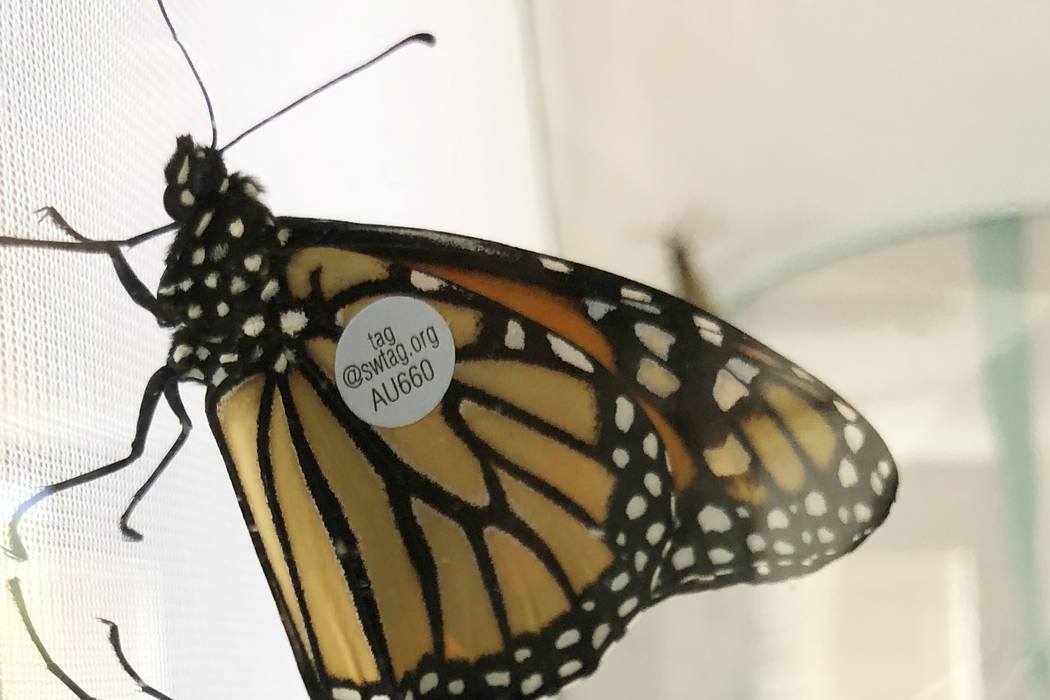 Monarch butterflies wearing numbered identification tags sit inside their protective enclosure before being released at the University of Nevada Cooperative Extension's Botanical and Test Garde ...
