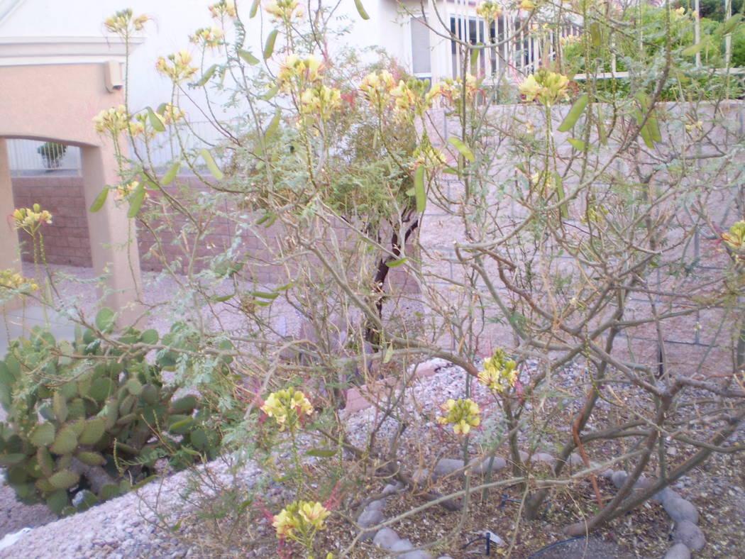 Bob Morris A good fertilizer should help fill out this Mexican bird of paradise.