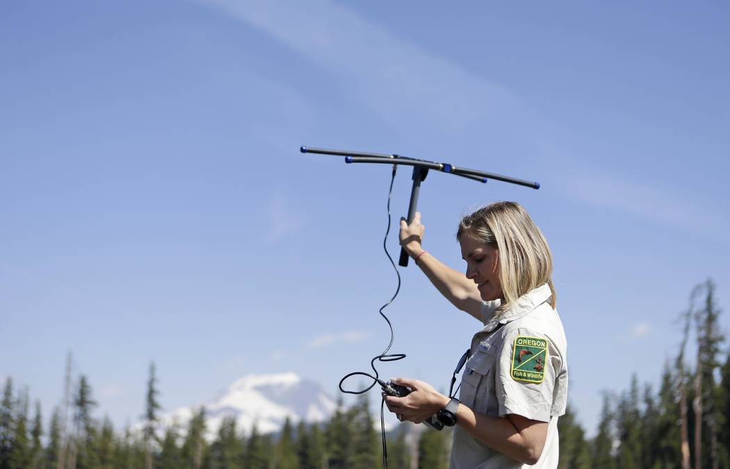 In this June 8, 2018 photo, Jamie Bowles, a wildlife tech with the Oregon Department of Fish & Wildlife, uses an antenna to pick up signals from radio collared Sierra Nevada red foxes near Mt. ...