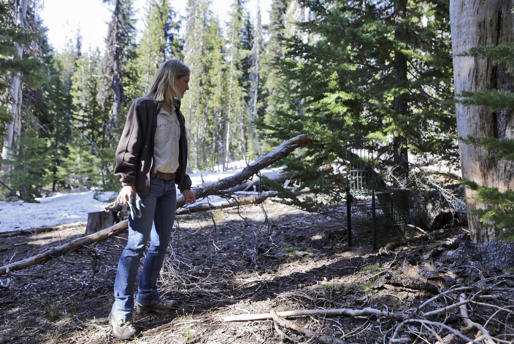 In this June 8, 2018 photo, Jamie Bowles, a wildlife tech with the Oregon Department of Fish & Wildlife, checks one of the traps she set for a Sierra Nevada red fox near Mt. Bachelor, west of ...