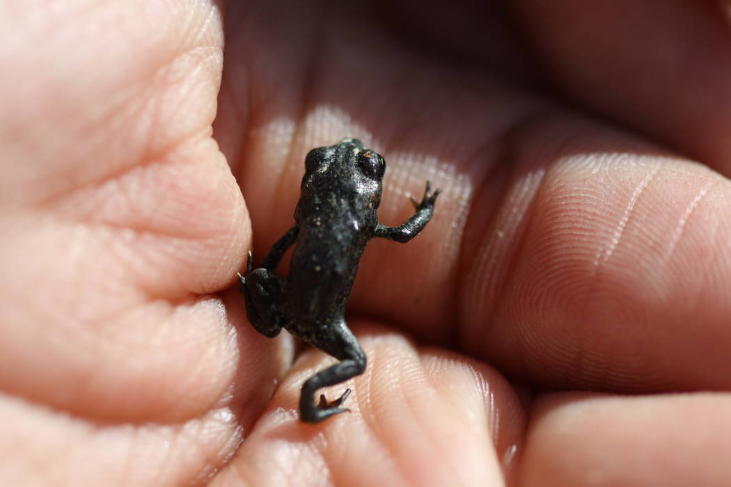 A researcher holds a baby Dixie Valley toad at the isolated, spring-fed marsh where it lives in remote Churchill County. (Michelle Gordon)