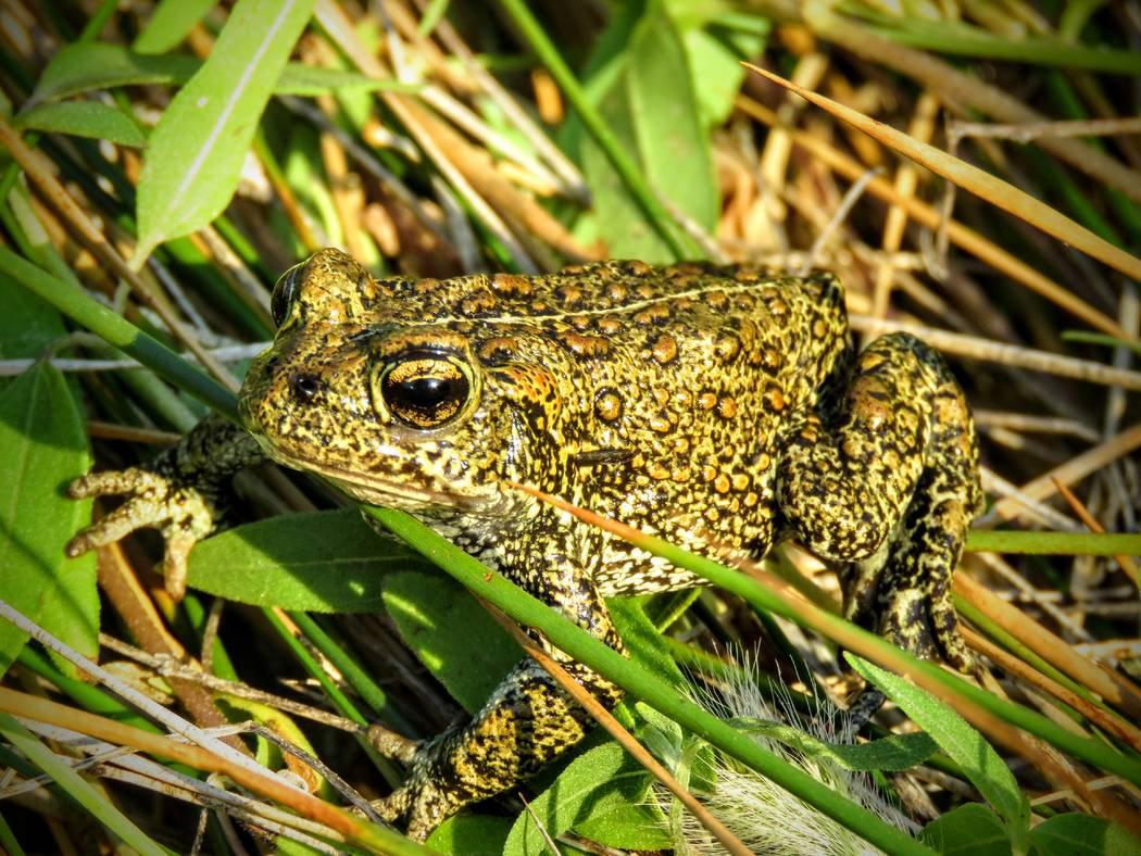 A Dixie Valley toad, a newly discovered species of amphibian, crouches in the grass of its isolated natural habitat in Churchill County, about 400 miles northwest of Las Vegas. (Patrick Donnelly/C ...